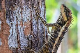 foto of lizards  - Greater spiny lizard - JPG