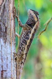 image of lizards  - Greater spiny lizard - JPG
