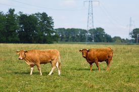 picture of cattle breeding  - The breed Limousin cattle on the field at summer time - JPG
