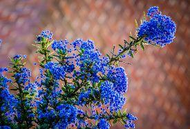 stock photo of rare flowers  - Beautiful rare blue ceanothus flower in spring - JPG