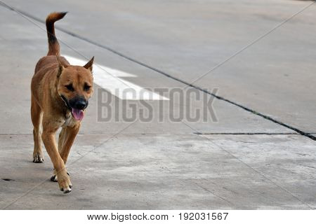 Hungry stray dogs walk alone all day