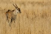 picture of eland  - Eland buck standing in some long grass - JPG