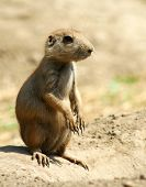 foto of blacktail  - This Blacktail Prairie Dog is sitting erect on top of his mound ready to sound the alert bark and warn his  - JPG