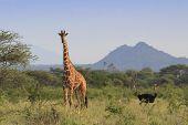 Ostrich and Giraffe. Tallest bird and Tallest Mammal in African savannah landscape poster