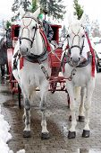 picture of hackney  - Two white horse - JPG
