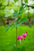 stock photo of lyre-flower  - Dicentra spectabilis also known as Venus - JPG
