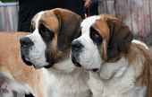 Couple of purebred st bernard dogs poster