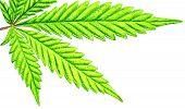 Isolated 5 Tip Marijuana Leaf 04 poster