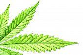 Isolated 5 Tip Marijuana Leaf 03 poster