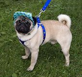 picture of googly-eyes  - Pug with a cap and blue collar - JPG