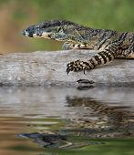 image of goanna  - a goanna is walking along a log across the water - JPG