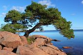 stock photo of windswept  - a windswept pine with a beautiful habit surrounded by sea and rocks - JPG