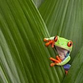 stock photo of tree frog  - red eyed tree frog hiding in green background leafs Agalychnis callydrias exotic amphibian macro treefrog  Costa Rica curious tropical rain forest animal copyspace Panama or terrarium - JPG