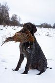 Pheasant Hunting. German Long-haired Cop In The Winter Forest On The Hunt. The Dog Retrieve The Bird poster