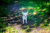 Little White Chihuahua Dog On The Walk. A Little Dog. Puppy. White Dog. Dog For A Walk poster