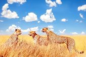 Group Of Cheetahs In The African Savannah Against A Blue Sky With Clouds.  Africa, Tanzania, Serenge poster