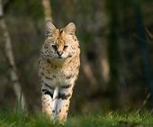 Beautiful Serval
