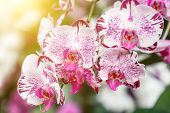 Phalaenopsis Orchid. Flower In Garden At Sunny Summer Or Spring Day. Flower For Postcard Beauty Deco poster