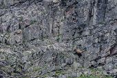Grizzly Climbs Rock Wall While Scavenging For Food poster