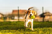 Beagle Dog Runs In Garden Towards The Camera With Green Ball. poster