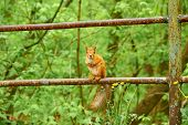 Squirrel Looks At The Frame. The Red Squirrel Or Eurasian Red Squirrel Is A Species Of Tree Squirrel poster