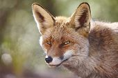 Hungry Fox With Geen Background. Wildlife In The Forest. Animal poster