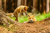 Cute Red Fox, Vulpes Vulpes In Fall Forest. Beautiful Animal In The Nature Habitat. Wildlife Scene F poster