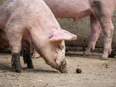 Large Cute Pink Pig Scavenging For Food On A Farm poster