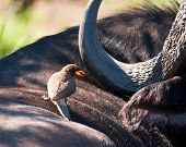 foto of ox-pecker  - Yellow billed ox - JPG