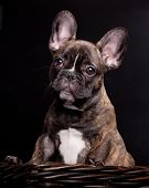 French bulldog puppy on black