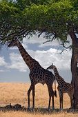 Animals Giraffe poster
