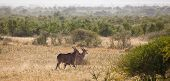 stock photo of eland  - A number of eland cross the African Bush - JPG