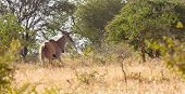 picture of eland  - A number of eland cross the African Bush - JPG