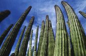 pic of pipe organ  - USA Arizona Organ Pipe Cactus against sky low angle view - JPG