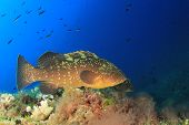 Dusky Grouper (Epinephelus marginatus)  fish in Mediterranean Sea