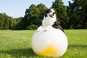 stock photo of australian shepherd  - An Australian Shepherd Dog doing exercises on a Yoga ball in the park - JPG