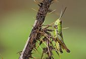 picture of hoppers  - A adult Common Green Grass Hopper  - JPG