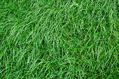 picture of gilf  - green grass texture on a meadow or grassland - JPG