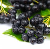 stock photo of aronia  - Chokeberry  - JPG