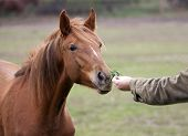 foto of feeding horse  - Man feeding a beautiful brown horse from hand - JPG