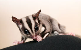 stock photo of possum  - Eating sugar glider  - JPG
