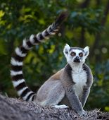 foto of rainforest animal  - Ring tailed lemur  - JPG