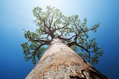 picture of baobab  - Baobab tree with green leaves on a blue clear sky background - JPG