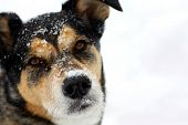 stock photo of sled-dog  - a head and shoulders portrait of a cute German Shepherd Mix Breed dog looking at the camera with snow on his nose and isolated on a snow white background with room for text copyspace - JPG