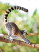 Long tailed monkey