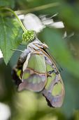 stock photo of malachite  - Malachite butterfly hanging from the flower of a bush - JPG