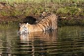 Tiger Going for a Swim