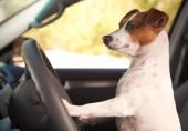 image of jack russell terrier  - Jack Russell Terrier Dog Enjoying a Car Ride - JPG