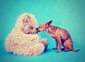 a tiny chihuahua kissing a teddy bear done with a vintage retro instagram filter