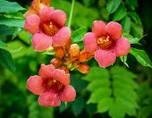 stock photo of creeper  - Campsis radicans - JPG